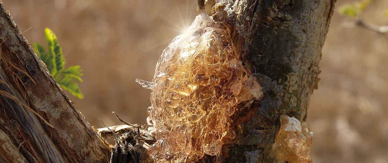 getrocknetes Gummi Arabicum am Akazien Baum
